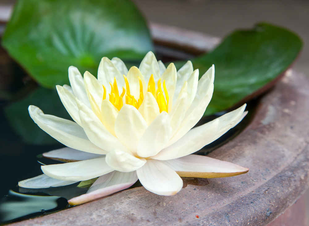 Lotus flower opens the Kriya Yoga practitioner